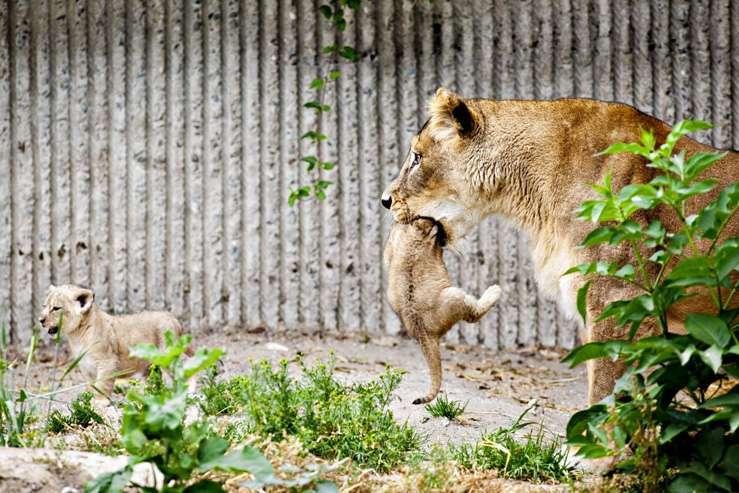В зоопарке Копенгаген убили 4 здоровых львов